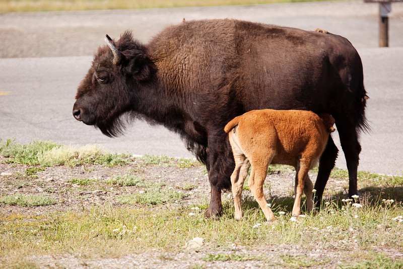 A Bison Nurses Her Calf, Old Faithful Village, Yellowstone National Park, Wyoming, USA