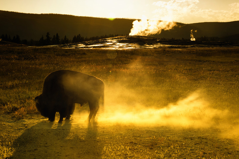 Bison shows off as Old Faithful gets ready to erupt, Upper Geyser Basin, southwest part of Yellowstone National Park, Wyoming, USA