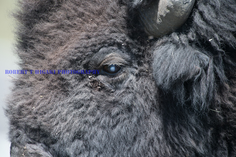 Uncropped shot of a Bison. Would you believe I used a 105mm macro lens??? Just kidding! I used my 600mm and hid behind my car to get this shot.