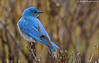Mountain Bluebird Posing