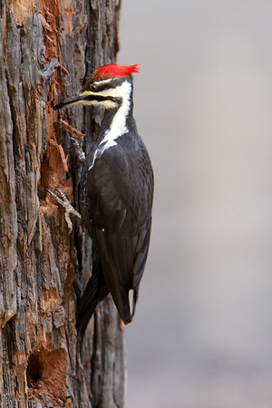 Pileated Woodpecker In Yosemite