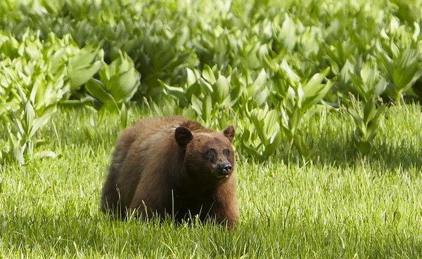 Black Bear in Crane Flat Meadow