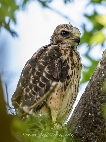 Hawk-June-20178542