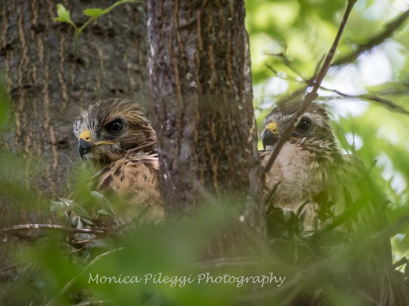 Hawk-June-20178649