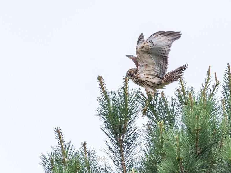 Hawk 1 July 2017-0783