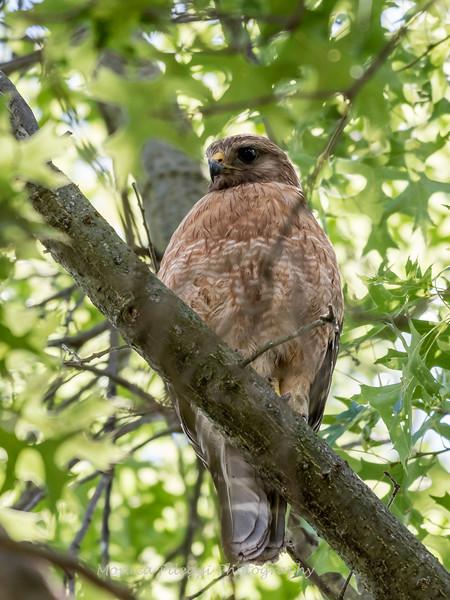 Hawk-June-20178645