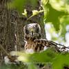 Hawk-June-20178598
