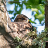 Hawk-June-20179038