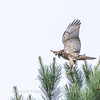 Hawk 1 July 2017-0786