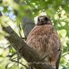 Hawk-June-20178641