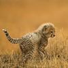Cheetah Cub 3