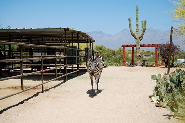 Zaza the zebra