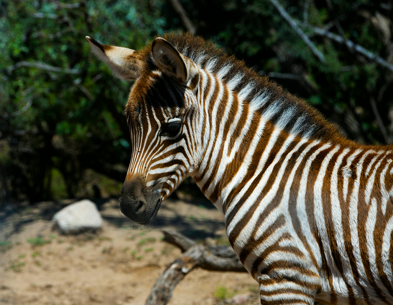 Young Grant's Zebra