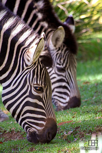 Chapman's Zebra (Equus burchelli chapmani) at the Adelaide Zoo