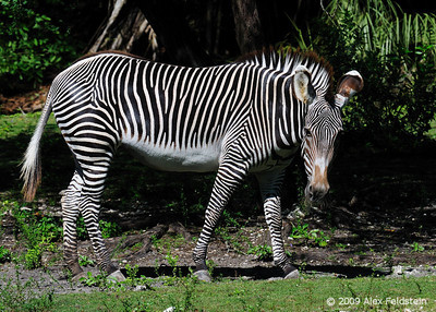 Grévy's Zebra Zoo Miami