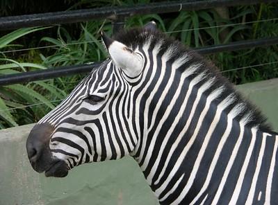 Grevy's Zebra (Equus grevyi) Buenos Aires zoo