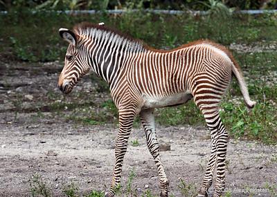 Young Grévy's Zebra (Equus grevyi) Zoo Miami