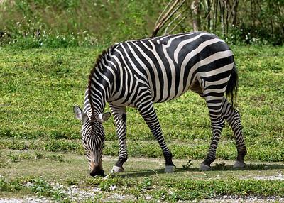 Plains zebra (Equus quagga) Zoo Miami