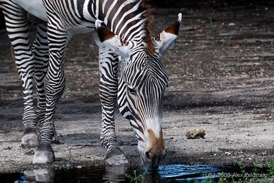 Grévy's Zebra (Equus grevyi) Zoo Miami