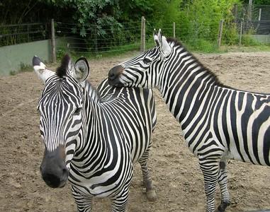 Grévy's Zebra (Equus grevyi) Buenos Aires zoo