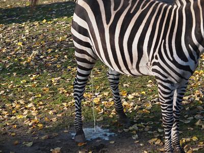 Zebras in Copenhagen Zoo. Photo: Martin Bager.