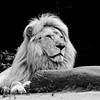 Lion blanc - Zoo d'Amnéville