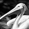 Pélican dos rosé - Zoo d'Amnéville