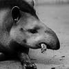 Tapir - Zoo d'Amnéville
