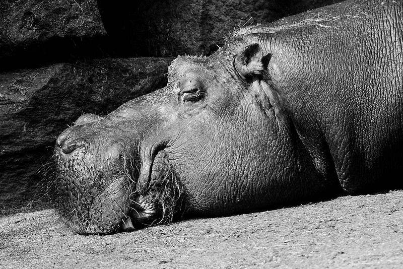 Hippopotame - Zoo d'Amnéville
