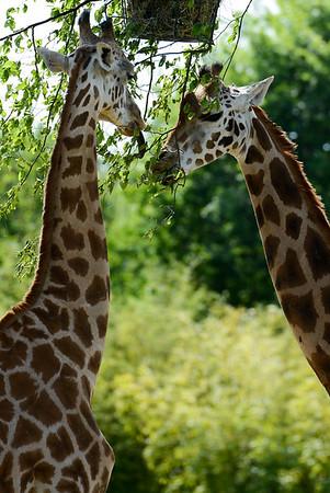 Girafe - Zoo d'Amnéville
