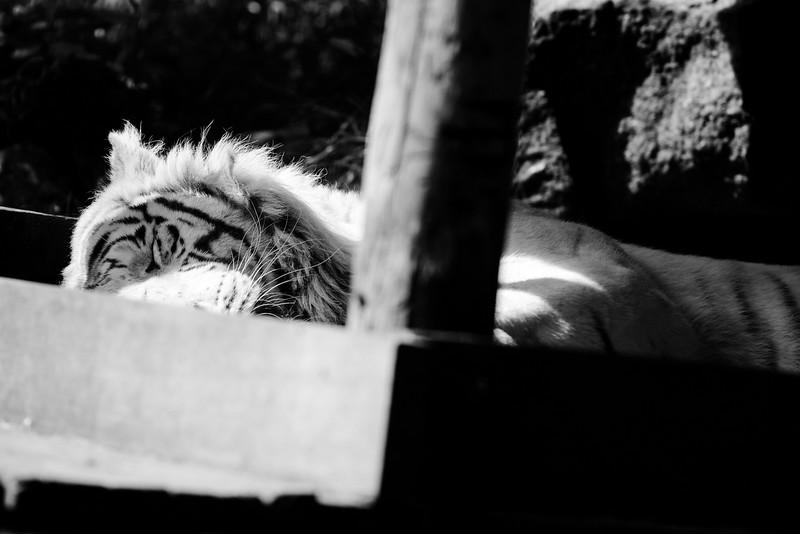 Tigre blanc - Zoo d'Amnéville