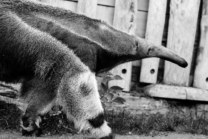 Le Fourmilier Géant - Zoo d'Amnéville