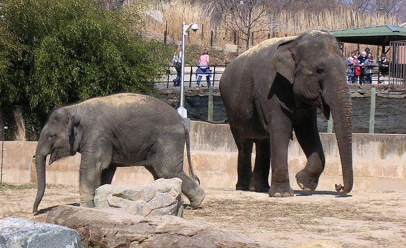 Asian Elephants Shanthi and her baby Kandula. <br /> <br /> National Zoo, Washington DC <br /> <br /> 3-20-04