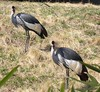 No, you're not seeing double. This is a pair of East African Crowned Cranes. <br><br>  National Zoo, Washington DC   3-20-04