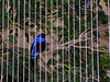 "The very vivid <a href=""http://nationalzoo.si.edu/Animals/Birds/Index/default.cfm?id=835"" target=""_blank"">Fairy Bluebird</a>. <br><br>National Zoo, Washington DC"