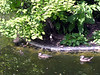 Two adult Wood Ducks and one of the babies. <br><br>National Zoo, Washington DC