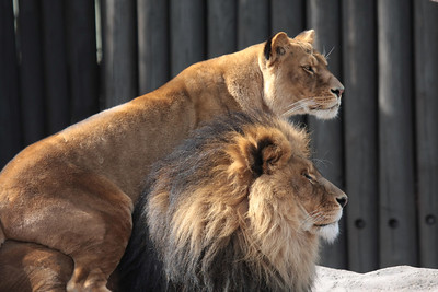 Two lions in a zoo, a male and a female. They are looking toward your right.