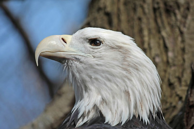 A Bald Eagle close up of it's head while looking to the left