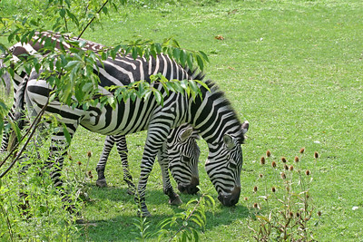 A pair of grazing zebra at a zoo