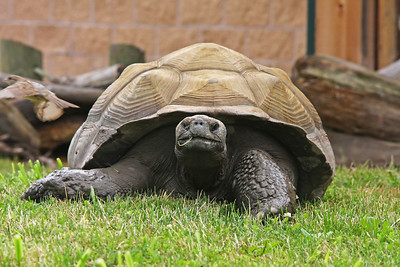 A Giant Tortise grazing in the grass