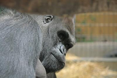 Gorilla peeking under a branch in a zoo