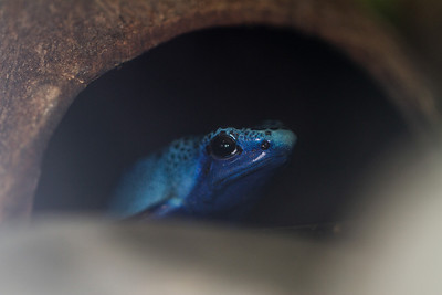 A rare - and poisonous - blue frog