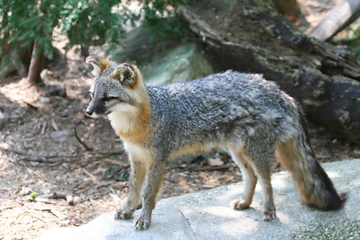 A grey fox standing on a rock in a wooded area