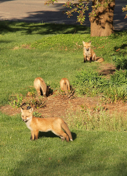 Fox in the front yard, 2012