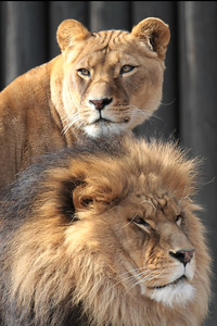 A lioness and lion at a zoo