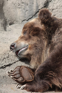 A grizzly bear laying on some rocks sleeping in a zoo
