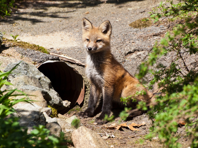 Fox in our front yard. 2011