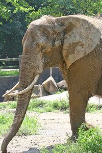 Captive elephant at a zoo, outdoors and muddy