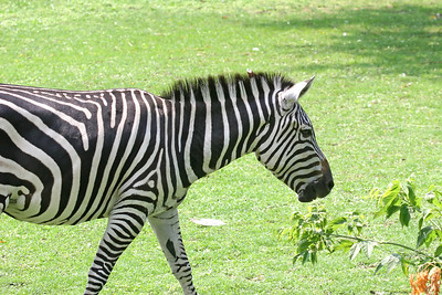 A zebra walking towards the right of the view