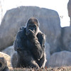 Zoo Atlanta, animals, pearls, gorilla